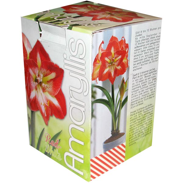 Amaryllis Red White