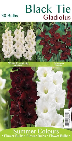Black Tie Gladiolus