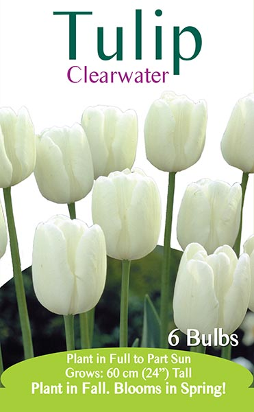 Clearwater Tulip