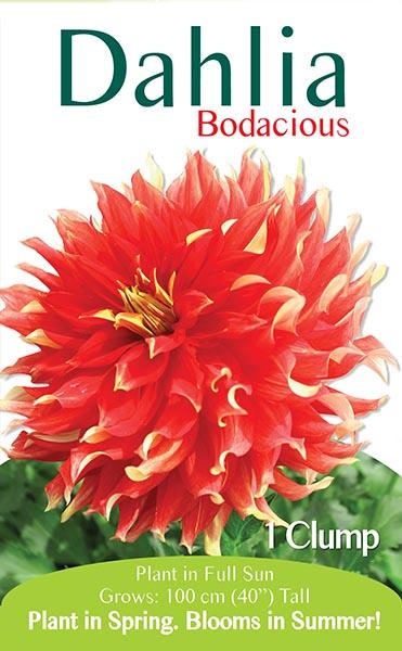 Dahlia Bodacious
