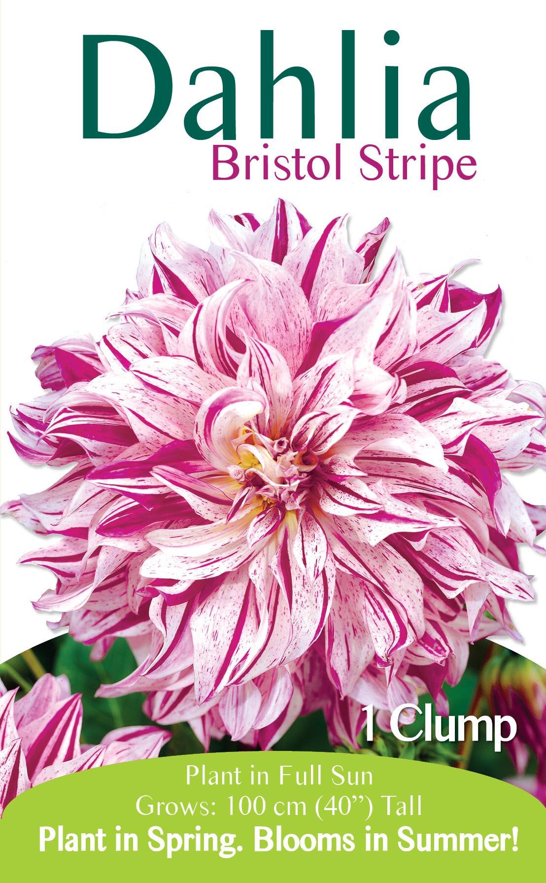 Dahlia Bristol Stripe