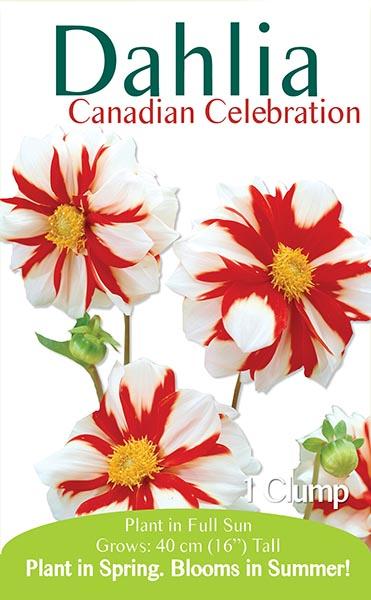 Dahlia Canadian Celebration