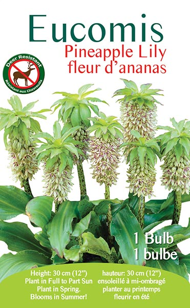 Eucomis Pineapple Lily
