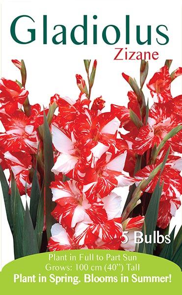 Gladiolus Zizane