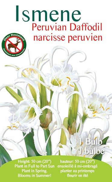 Ismene Peruvian Daffodil