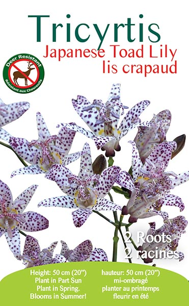 Tricyrtis Japanese Toad Lily