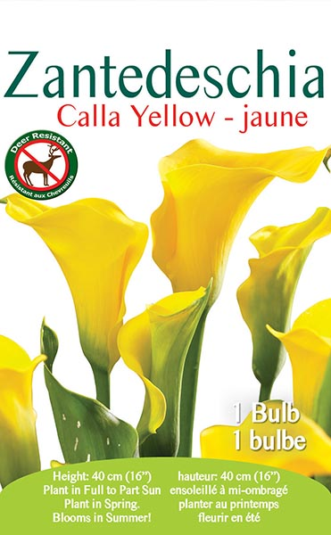 Zantedeschia Calla Yellow