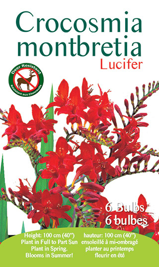 Crocosmia - Lucifer