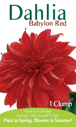 Dahlia - Babylon Red