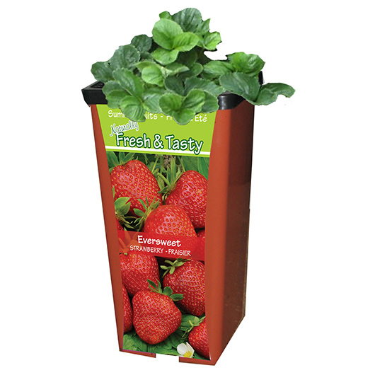 Chain Fruit Pot Strawberry