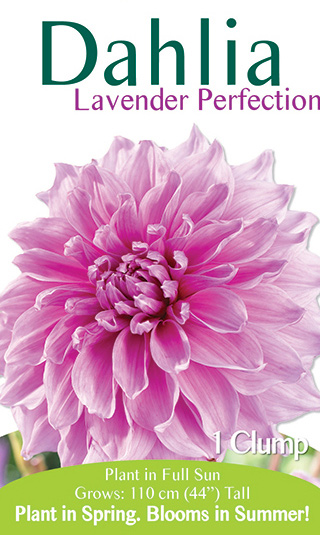 Dahlia - Lavender Perfection