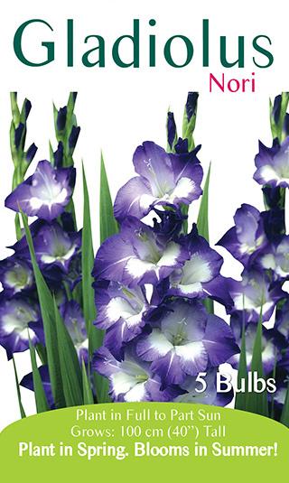 Gladiolus - Nori
