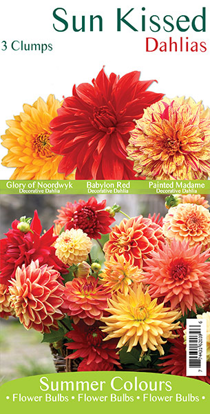 Sun Kissed Dahlias
