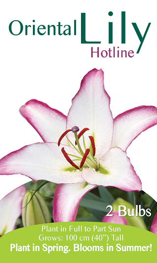 Oriental Lily - Hotline