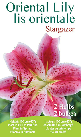 Oriental Lily - Stargazer
